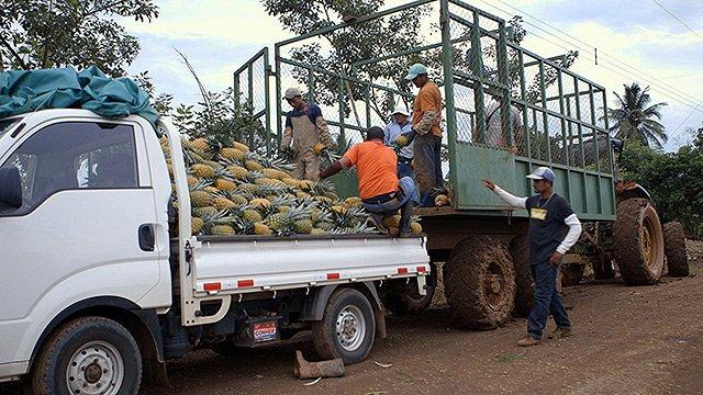 Südfrüchte - Arbeiter bei der Ernte