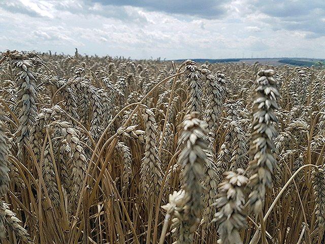 Der Wahnsinn mit dem Weizen